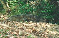 Crocodile in estuary at Playa La Ropa