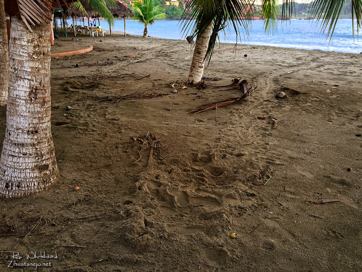 Sea turtle tracks and nest, Zihuatanejo